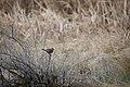 Chipping sparrow on greasewood skeleton in Hawley wetland at Seedakadee NWR (14835985064).jpg