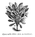Chou mille-têtes Vilmorin-Andrieux 1904.png
