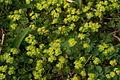 Chrysosplenium alternifolium PID749-2.jpg