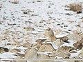 Chukar Partridge (Alectoris chukar) (32928532918).jpg