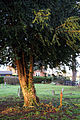 Church of St Mary, Stapleford Tawney, Essex, England - churchyard yew.jpg