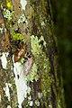 Cicadidae (28859863071).jpg