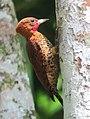 Cinnamon Woodpecker (Celeus loricatus) male.jpg
