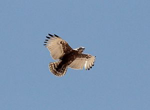 Brown snake eagle - Adult soaring over Kang in central Botswana