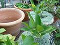 Citrus 'Indio Mandarinquat' - Kumquat hybrid.jpg