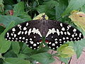 Citrus Swallowtail Papilio Demodocus Butterfly.jpg