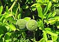 Citrus trifoliata Poncyria trójlistkowa 2013-08-11 02.jpg