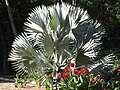 City Botanic Gardens Palm and cannas IMG 4574 (4274968460).jpg