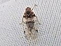 Cixius spec. (Cixiidae) - (imago), Elst (Gld), the Netherlands.jpg