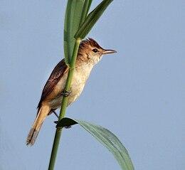 Clamorous Reed Warbler (Acrocephalus stentoreus) at Kolkata W IMG 3222