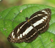 Clear sailer butterfly.JPG