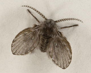 Drain fly family of insects