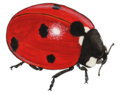 Coccinella-septempunctata--Trp-1.png