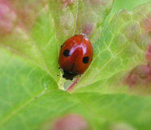 Adalia (beetle) - Adalia bipunctata