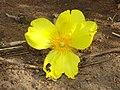 Cochlospermum tinctorium à la Pendjari.jpg