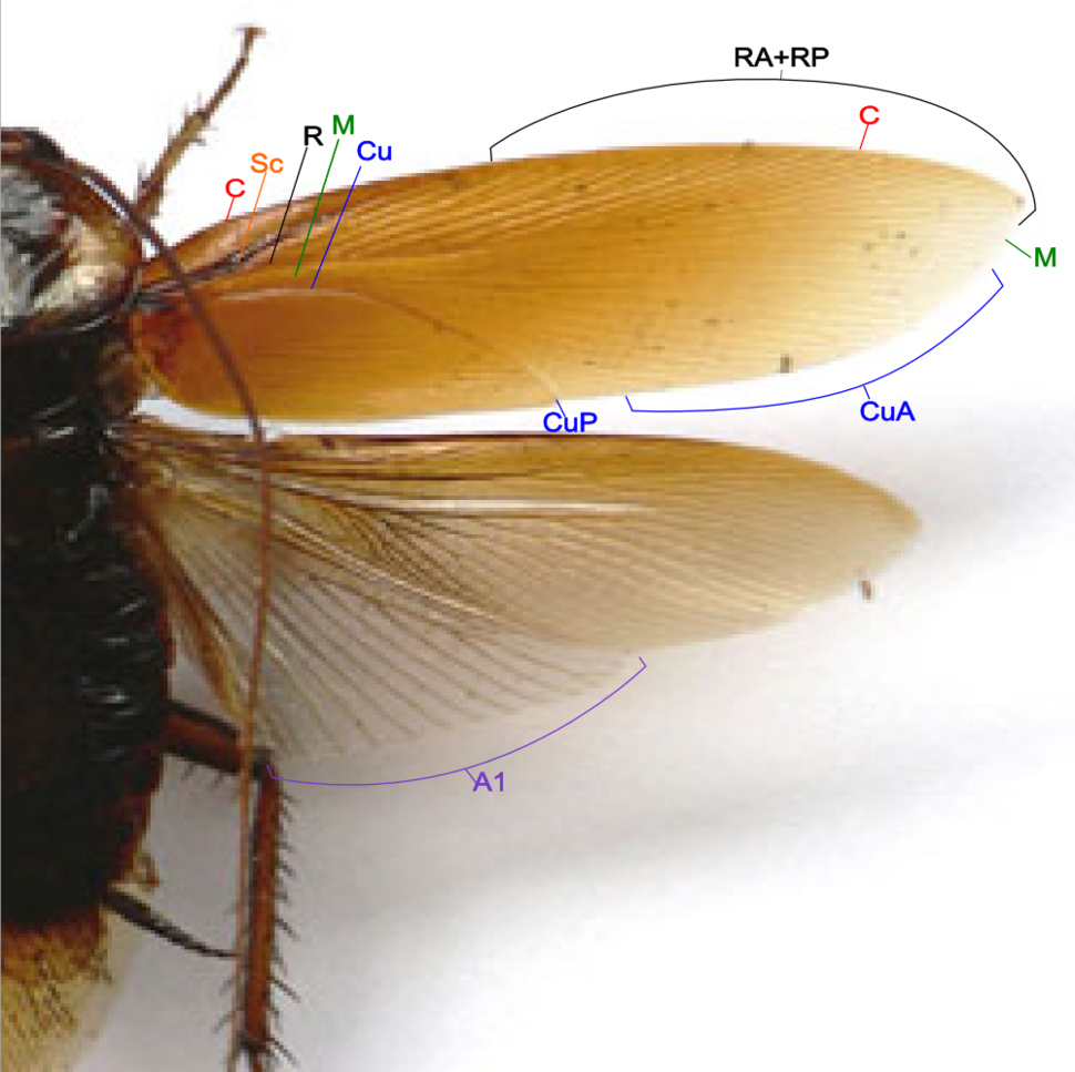Cockroach wing structure