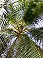 Coconut trees of Bangladesh 05.jpg