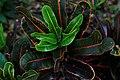 Codiaeum variegatum (croton) (9057432955).jpg
