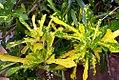 Codiaeum variegatum pictum 0zz.jpg