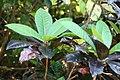 Codiaeum variegatum var. pictum Norma 2zz.jpg