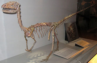 Coelophysis bauri - Mounted skeleton cast at the Cleveland Museum of Natural History