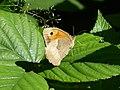 Coenonympha pamphilus - Waldschmetterling.jpg