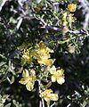 Coleogyne ramosissima flowers.jpg