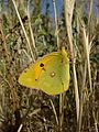 Colias crocea Madrid.jpg