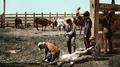 Colorado - Branding Calves c. 1900.png