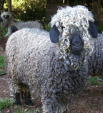 Angora goat - Angora goats are normally white, but colored Angoras are growing in popularity