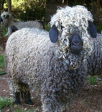 Mohair - An Angora goat