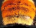 Colorful abdomen of Bombus Huntii (bumblebee) (21252472943).jpg