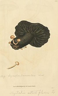Coloured Figures of English Fungi or Mushrooms - t. 383.jpg