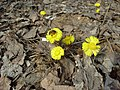 Coltsfoot early spring 1.jpg
