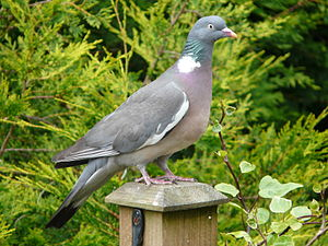 Common wood pigeon - Perched on a garden fence post, England