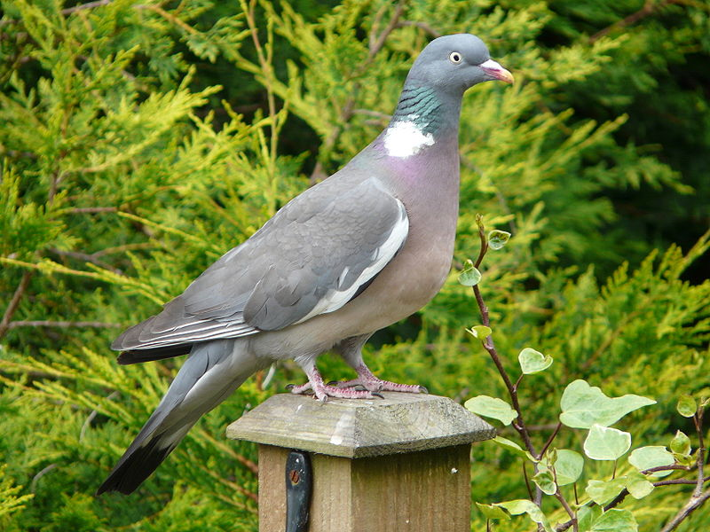 پرونده:Columba palumbus -garden post-8.jpg