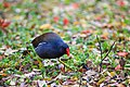 Common-moorhen-4.jpg