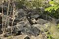 Common Cuckoo from Mordham Dam Nagpur JEG3630.jpg