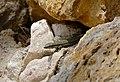 Common Wall Lizard (Podarcis muralis) (35670104371).jpg