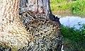 Common quail in Assam.jpg