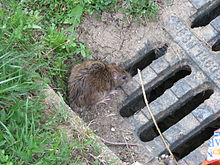Ratten Wikipedia