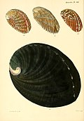 Conchologia iconica, or, Illustrations of the shells of molluscous animals (1845) (20668799762).jpg