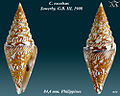 Conus excelsus 1.jpg