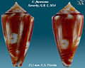 Conus flavescens 9.jpg
