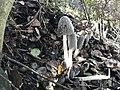 Coprinopsis lagopus 62502987.jpg