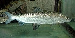 Coregonus - Common whitefish, Coregonus lavaretus (sensu lato)