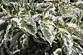 Cornus florida Cherokee Daybreak 2zz.jpg