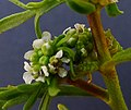 Coronopus squamatus inflorescens (08).jpg