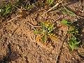 Coronopus squamatus plant (04).jpg