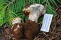 Cortinarius magnivelatus Dearn. ex Fogel 386451.jpg